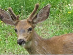 Deerpic3